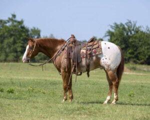 Caballo POA Castrado en Venta Galveston, Texas - Rancho de ...